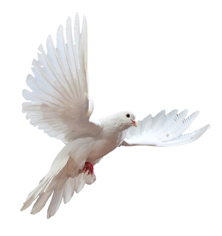 صور حمام ابيض يرفرف في السماء 18 صور حمامه السلام