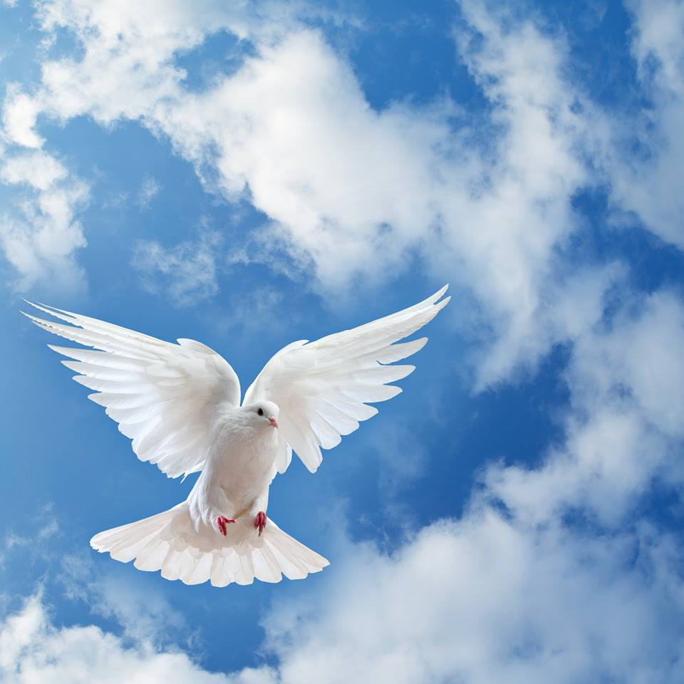صور حمام ابيض يرفرف في السماء 5 صور حمامه السلام
