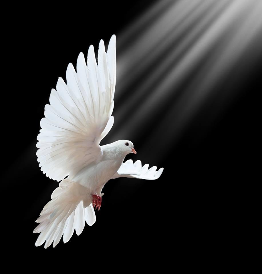 صور حمام ابيض يرفرف في السماء 9 صور حمامه السلام