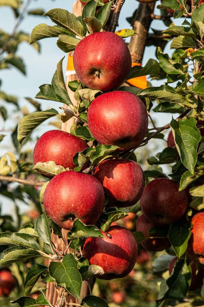 صور تفاح 10 صور التفاح