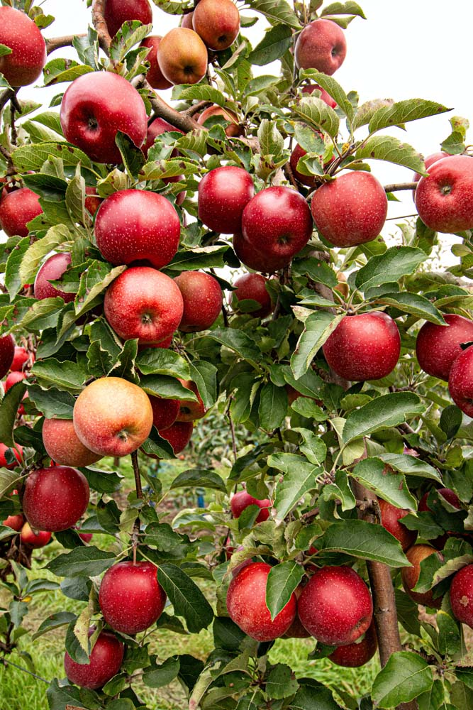 صور تفاح 11 صور التفاح