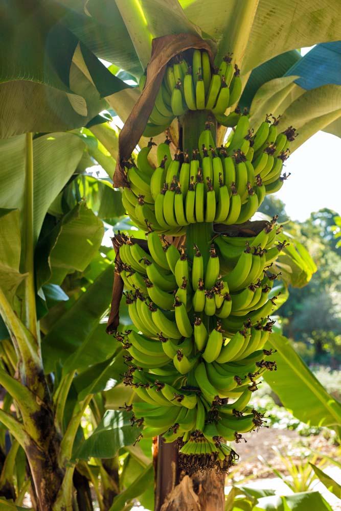 صور موز 10 صور الموز