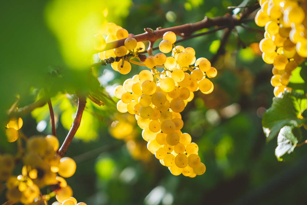 عنب 7 صور العنب