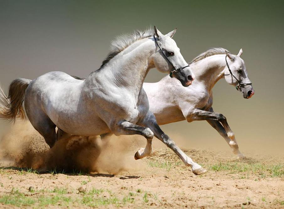 حصان 1 صور معلومات عن الخيول