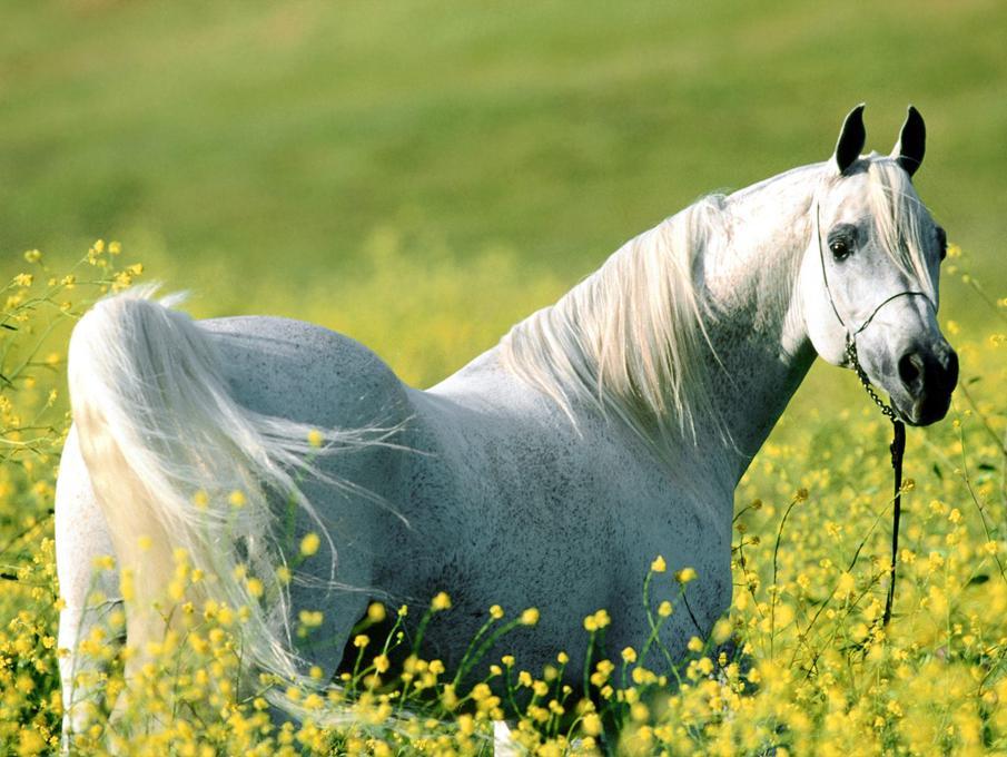 صول حصان 1 صور معلومات عن الخيول